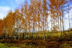 Tid för höst` s: gulnade björkträd i plantera längs fältet Royaltyfri Bild