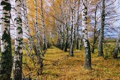 Tid för höst` s: gulnade björkträd i plantera längs fältet Royaltyfria Bilder