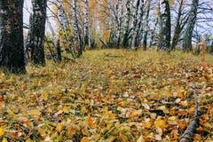 Tid för höst` s: gulnade björkträd i plantera längs fältet Arkivbild