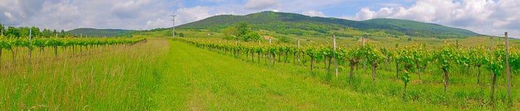 Tid för vingård på våren Arkivbild