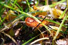 tid för sommar för agarichallucinogenmakro champinjon skjuten Arkivfoto