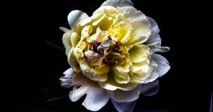 Tid schackningsperiod av att blomma den vita pionen arkivfilmer