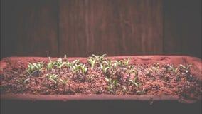 Tid schackningsperiod av unga tomatplantor stock video