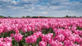 Tid schackningsperiod Fält av rosa tulpan i Keukenhof område nära Amsterdam, Nederländerna Närbild 4K stock video