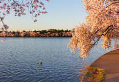 Tidal Basin during cherry blossom peak in Washington DC, USA. Royalty Free Stock Photography