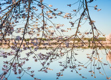 Tidal Basin at Cherry Blossom Time Stock Photo