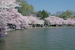 Tidal Basin in Full Bloom - Washingon, DC. Cherry blossoms in full bloom along the tidal basin in Washington, DC Stock Photography