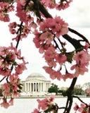 Tidal basin Jefferson memorial. Washington DC cherry blossom cloudy day. Beautiful lovely sweet flower Stock Image