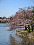 Tidal Basin Walk Path and Cherry Blossoms 2. Cherry Blossom Cluster after a shower. Some 3000 Cherry trees adorn Washington's Tidal Basin. The trees bloom in Stock Photos