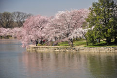 Tidal Basin Walk Path and Cherry Blossoms. Cherry Blossom Cluster after a shower. Some 3000 Cherry trees adorn Washington's Tidal Basin. The trees bloom in April Stock Images