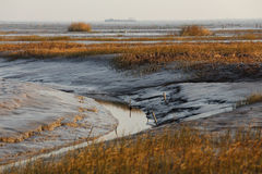 Tidal flat in the morning, next to the trench with golden seaweed, the distance is a lot of fishing nets Stock Photos