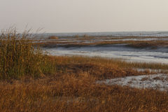 The tidal flat in the morning. Winter morning, trench alongside many golden sea grass is growing Stock Photography