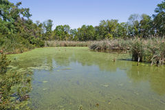 Tidal Pond with Algae. Tidal pond off of the Chesapeake Bay, near Lusby Maryland USA, with algal cover; with seaoats grass growing opposite stock image
