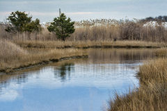 Tidal Pool. An inland tidal pool surrounded by reeds and scrub pines Stock Photo