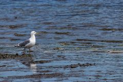 Seagull on a rock shore at high tide Stock Image