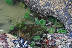 Tide Pool of Anemones, Mussels & Sea Grass Stock Photography