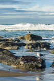 Tide pool area with seagulls Royalty Free Stock Images