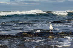 Tide pool area with seagulls Stock Images