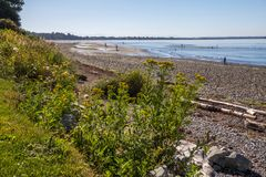 Tide recedes exposing tidal flats for family fun on beach. As the tide recedes in Semiahmoo Bay, the sand below the pebbles of White Rock`s East Beach are Royalty Free Stock Photo