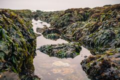 Tidepools and rocks covered in seaweed. During low tide at Fitzgerald Marine Reserve, Moss Beach, California Stock Image