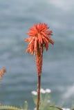 Tidig blom av den röda aloeblomman Royaltyfri Bild