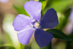 tidig blommafjäder Royaltyfri Bild