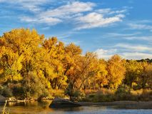 Tidig höst i poppelskogen längs Arkansaset River i sydliga Colorado Fotografering för Bildbyråer