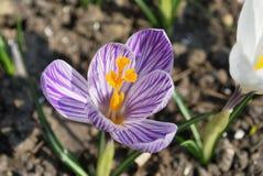 Tidig krokus blommar i blommaträdgård i vår Royaltyfri Fotografi