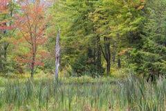 Tidig nedgångfärg på lövverk i den New England skogen arkivbilder