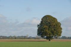 tidig oaktree för höst Royaltyfria Bilder