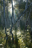 tidig skogmorgon för björk Royaltyfri Bild