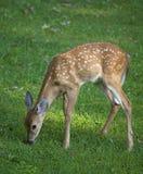 tidig tillväxt för horn på kronhjort Royaltyfria Foton