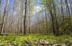 Tidig vår i skogen Arkivbild