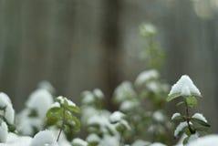 tidig vinter; lingonris under den första snön royaltyfria foton