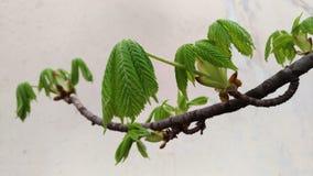 Tidiga gröna sidor av en kastanj på en filial på den ljusa bakgrunden royaltyfria foton