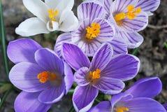 Tidiga krokusar i vår blommar i blommaträdgård Royaltyfri Fotografi