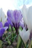 Tidiga krokusar i vår blommar i blommaträdgård Royaltyfria Bilder