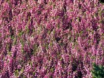 Tidigt höstskott av rosa ljungblommor Royaltyfri Foto