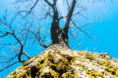 Tidigt vårträd med en blå himmel arkivfoto