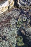 Tidvattens- pöl nära Tofino royaltyfri foto