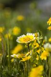 Tidy Tips and Grass. Close-up of Tidy Tip flowers in grass stock images