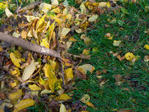 Tidying autumn leaves Stock Photo