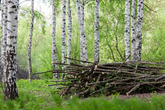 Tidying birch grove. The cut branches in a birch grove in the spring Royalty Free Stock Photos