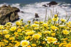 Tidytips en goudvelden die op de Vreedzame Oceaankust in Mori Point, Pacifica, de baai van San Francisco, Californië bloeien royalty-vrije stock afbeelding