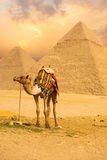 Tied Camel Standing Front Pyramids V Royalty Free Stock Images