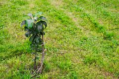 The tied columnar apple tree. In the garden stock photography