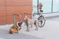 Tied dogs Stock Photos