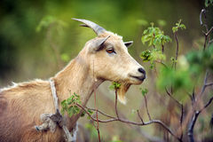 Tied Goat Portrait Stock Images