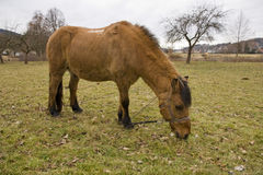 Tied horse Royalty Free Stock Images