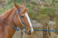 Tied Horse at Meadow Royalty Free Stock Photography